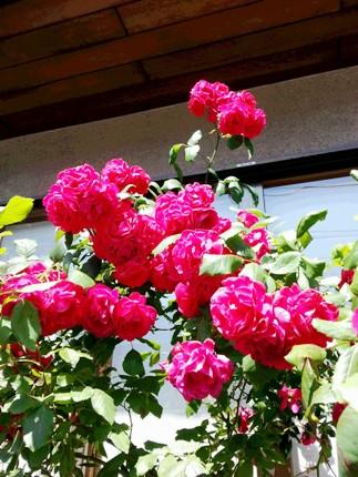 バラ・つつじ・・・花が綺麗な季節ですね♪